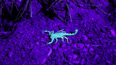 How Do You Handle a Scorpion Sting?